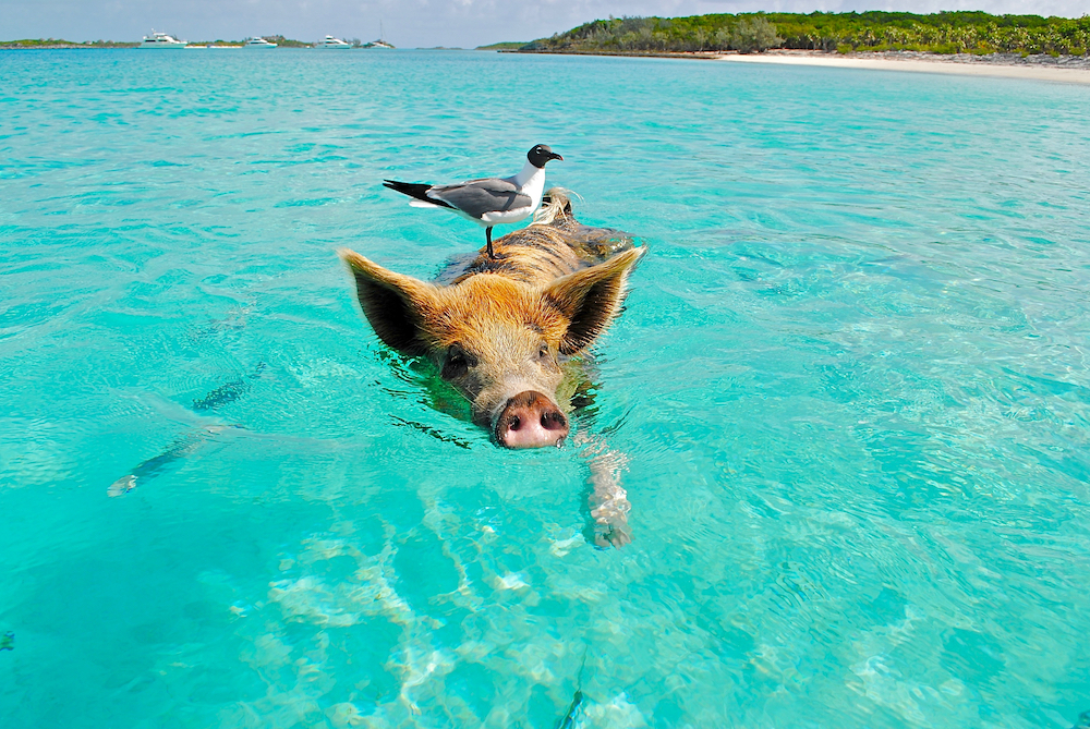 Yachts with the classic swimming with the pigs in The Bahamas